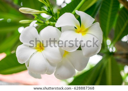 The nice plumeria in the garden.