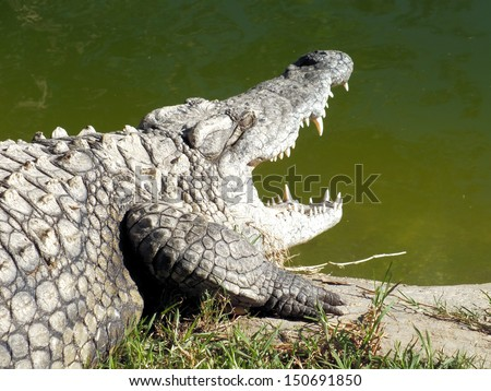 The Nile Crocodile (Crocodylus niloticus) is quite widespread throughout sub-saharan Africa and lives in different types of aquatic environments such as lakes, rivers and marshlands.