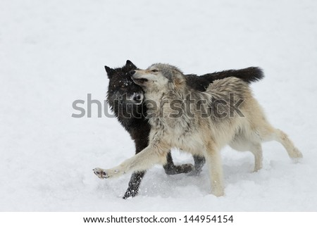 The North American Grey Wolf, an Apex Predator - stock photo