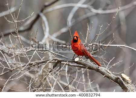 The northern cardinal is a North American bird in the genus Cardinalis; it is also known colloquially as the redbird or common cardinal.During courtship, the male feeds seed to the female beak-to-beak - stock photo