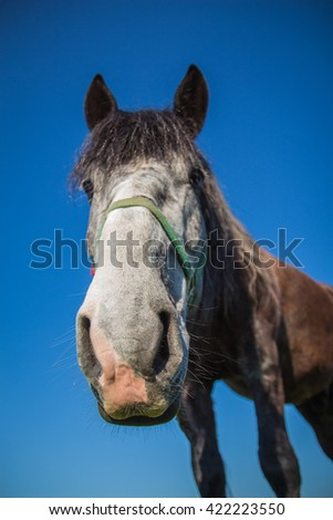 The nose is dark brown horse close-up - stock photo