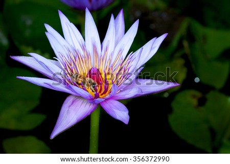 The Nymphaeaceae are aquatic, rhizomatous herbs .Members of this family are commonly called water lilies This one is called Blue Beauty