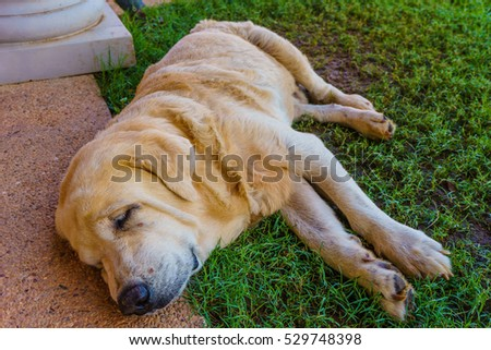 The old golden retriever dog sleep on glass at a front of home with smile.