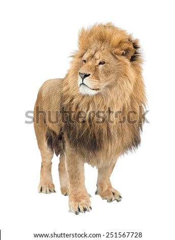 The old lion. Alpha male. isolated - stock photo