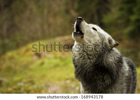 The old wolf howling - stock photo