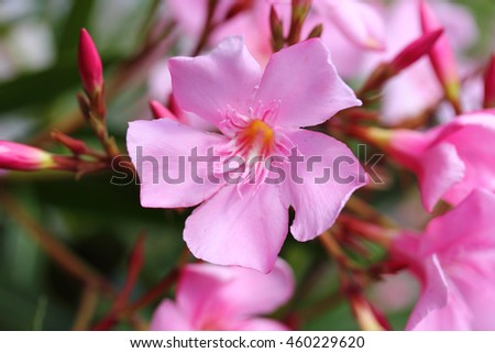 The oleander (Nerium oleander) is an evergreen woody plant