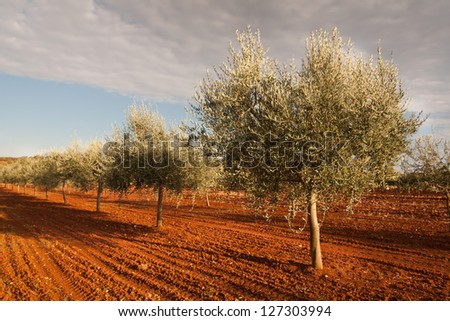 the olive trees - Croatia - stock photo