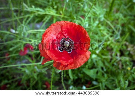The one big Red (Papaver) poppy in the garden. The blooming red poppy on the green grass background. The blooming poppy in summer. - stock photo