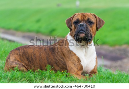 the one-year-old puppy of the german boxer lying on the grass cuttings in the summer , sunny evening,  intense looking away, dirty nose in the sand, dog, doggy, pawl, doggie,