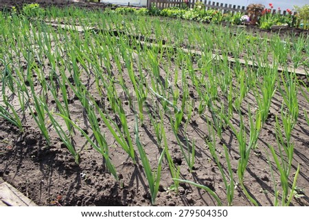 The Onion plantation in the vegetable garden - stock photo