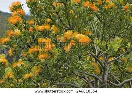 The Orange flame pincushion, also called Langeberg pincushion or oranjevlamspeldekussing, Leucospermum erubescens, flowering in the Kirstenbosch National Botanical Gardens in Cape Town  - stock photo