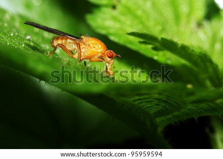 The orange fly is fed, sitting on green sheet. Macro
