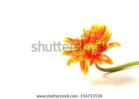 the Orange gerbera flower on white