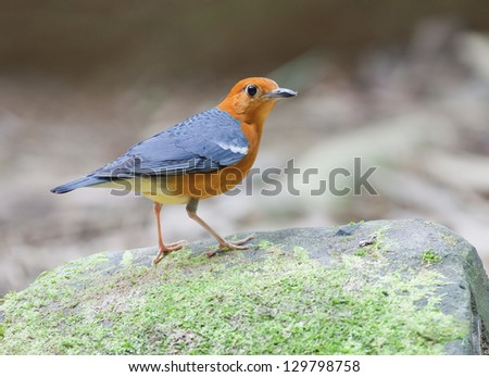 The Orange-headed Thrush (Zoothera citrina) is a bird in the thrush family.