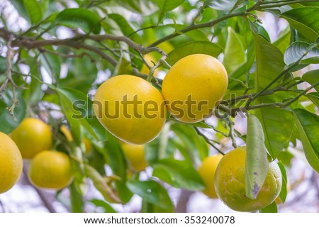 The oranges fruit on the tree, leaves. - stock photo