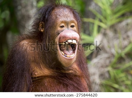 the orangutan. - stock photo