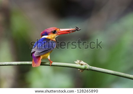 The Oriental Dwarf Kingfisher also known as the Black-backed Kingfisher or Three-toed Kingfisher (Ceyx erithaca) is a species of bird in the Alcedinidae family.
