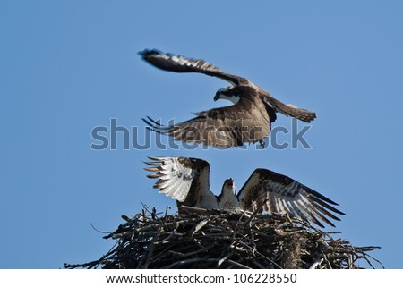 The Osprey (Pandion haliaetus), sometimes known as the sea hawk, fish eagle or fish hawk, is a diurnal, fish-eating bird of prey. - stock photo