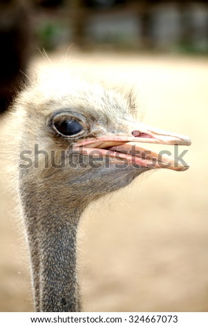 The ostrich in farm