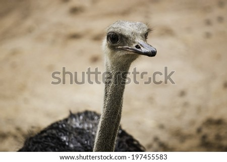 The Ostrich or Common Ostrich (Struthio camelus) is either one or two species of large flightless