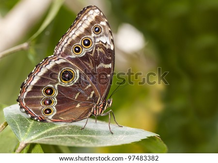 The owl butterfly in close up. - stock photo