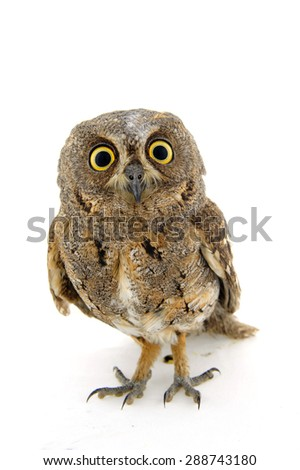 The owl in the white back - stock photo