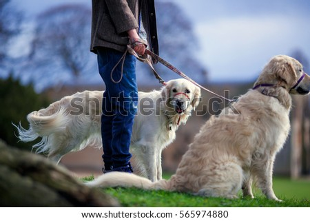 the owner walks his dogs on the green grass in the park on a leash