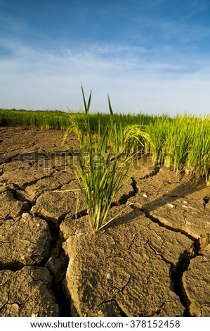 the paddy on the arid land with blue sky as background.
