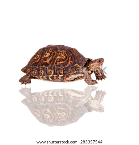 The Painted wood turtle on white - stock photo