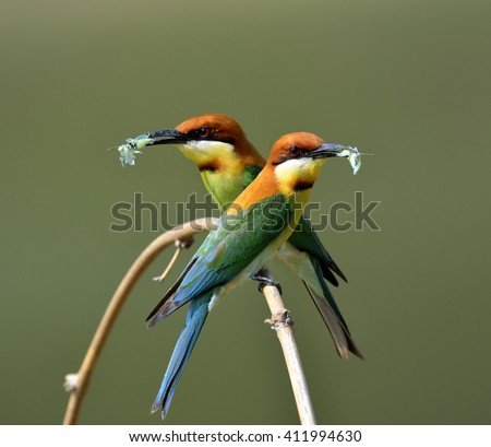The pair of chestnut-headed bee-eater (Merops leschenaulti) the beautiful orange head, green body and blue tail birds  picking the butterfly in their bills to feed chicks in the hole nest - stock photo