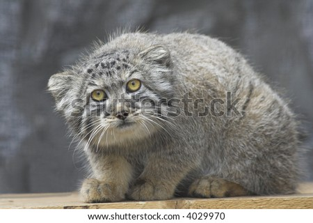 The Pallas's cat in a zoo