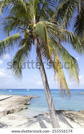 The palm on popular Seven Mile Beach of Grand Cayman Island. - stock photo