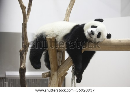 The panda which rests - stock photo