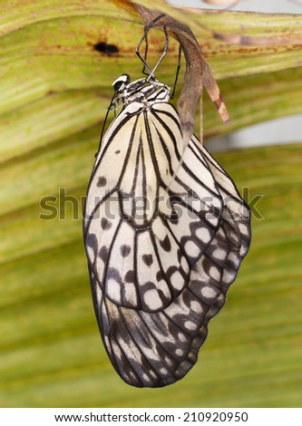 The paper Kite butterfly hatching from pupa - Idea leuconoe - stock photo
