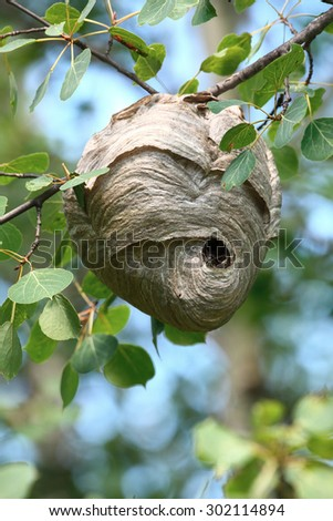 The paper nest of the bald faced hornet (Dolichovespula maculata), a common wasp found in North America.