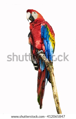 The parrot  Red Macaw sitting on the branch isolated on white background. The Red macaw (Ara macao) is a large, red, yellow and blue South American parrot