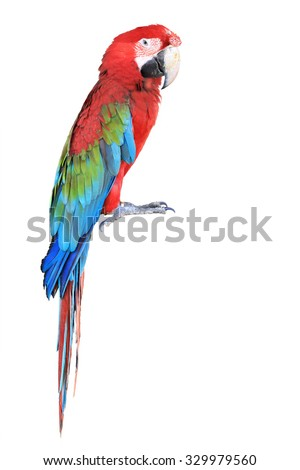 The parrots bird colorful red macaw sitting on the perch isolated on white background. This has clipping path. - stock photo