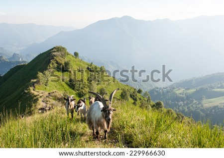 the pasture of the goat - stock photo