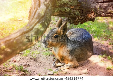 The Patagonian mara (Dolichotis patagonum), a relatively large rodent. Patagonian mara lying under a tree - stock photo