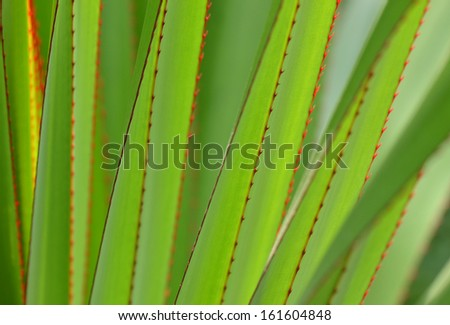 The pattern of agave leaves with prick  - stock photo