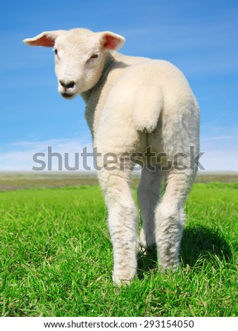 The peaceful sheep - stock photo