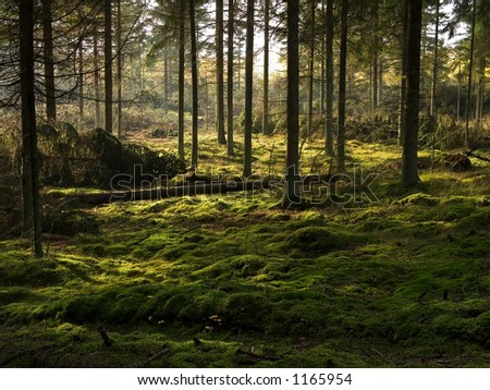 The peat covered forest bed in a pine forest, jutland, Denmark