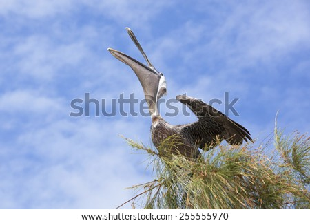 The pelican stretching on a top of a tree (Little Stirrup Cay, The Bahamas). - stock photo