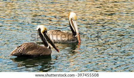 The Pelicans have learned they can make a good living hanging around the boat dock in San Diego - stock photo
