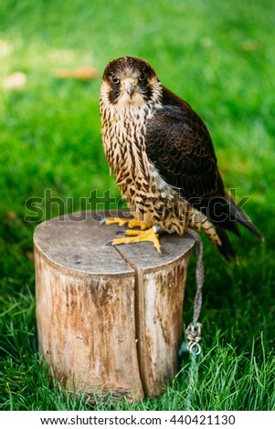 The Peregrine Falcon Falco Peregrinus, Also Known As The Peregrine, And Historically As The Duck Hawk In North America, Is A Widespread Bird Of Prey In The Family Falconidae. - stock photo