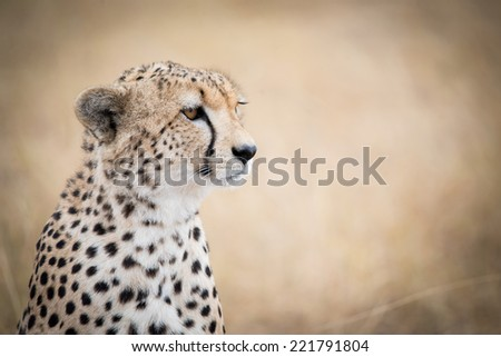 The perfect profile of a male cheetah in the Serengeti National Park, Tanzania - stock photo