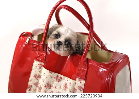 The pet dog under preparations which go out/Lovely dog - stock photo