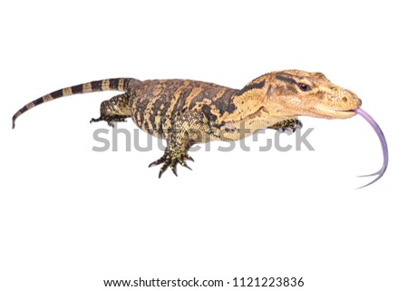 The Philippine water monitor (Varanus cumingi) is found in the southern Philippines, where it is distributed on Mindanao and a few small nearby islands.