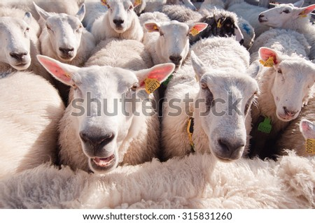 The photo of sheep very tightly and uncomfortable - stock photo