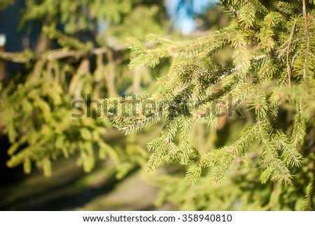 The picture of green fir trees in the cold winter morning at the beginning of January. The yellow sunlight descends on prickly green branches. The shadows of the branches are falling one over another.